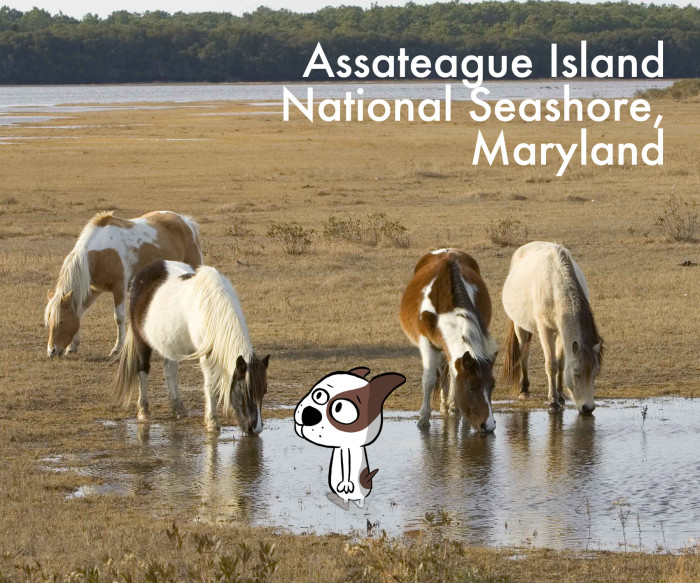 Assateague_MD